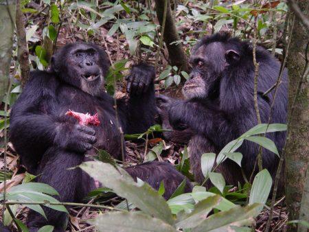Chimpanzés Guerreirosde Uganda